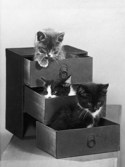 Kitten in Each Drawer--Photographic Print