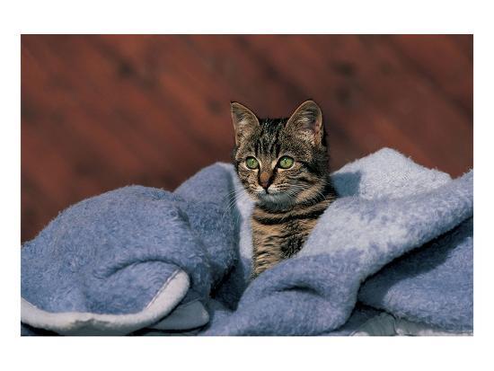 Kitten On A Blue Blanket--Art Print