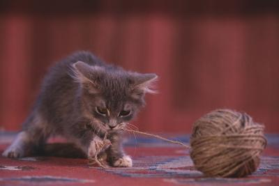 Kitten Playing with Ball of String-DLILLC-Photographic Print