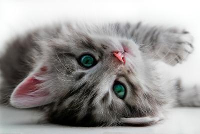 Kitten Rests - Isolated-Orhan-Photographic Print