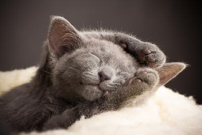 Kitten Sleeping, Russian Blue Cat.-Gita Kulinitch Studio-Photographic Print