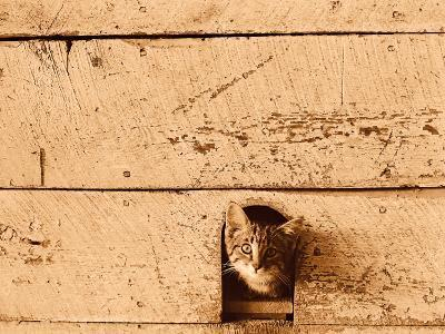 Kitten Sticking it's Head Out of Hole in the Wall-Rob Lang-Photographic Print