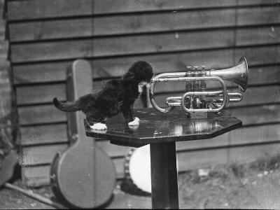 Kitten Trumpeter--Photographic Print