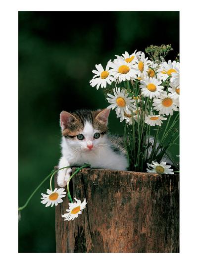 Kitten With Camomiles--Art Print