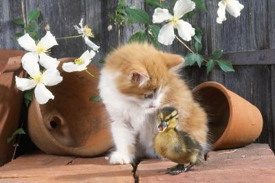 Kitten with Duckling--Photographic Print