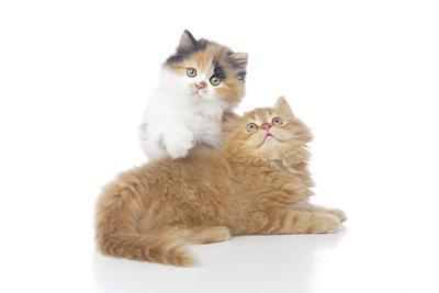 https://imgc.artprintimages.com/img/print/kittens-002_u-l-q10pddw0.jpg?artPerspective=n