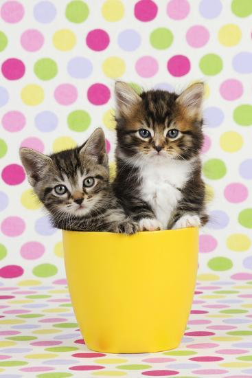 Kittens (7 Weeks Old) Sitting in Cup--Photographic Print