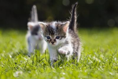 Kittens Exploring Garden Lawn, Germany-Konrad Wothe-Photographic Print