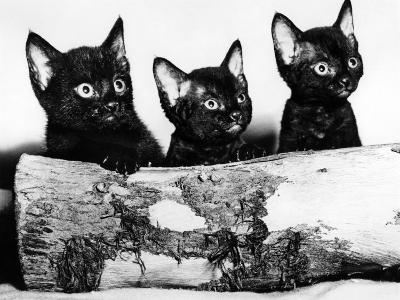 Kittens Hiding Behind Log. November 1965--Photographic Print