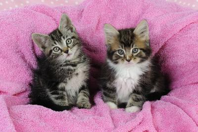 Kittens on Pink Towel--Photographic Print
