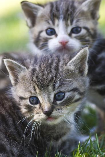 Kittens Sitting in the Grass--Photo