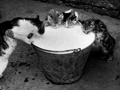 Kittens Slurping from a Pail of Milk--Photographic Print