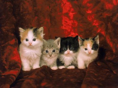 Kittens-Craig Witkowski-Photographic Print