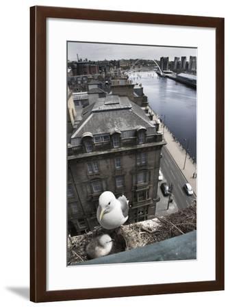 Kittiwake (Rissa Tridactyla) Female with Chick Nesting on Tyne Bridge, Newcastle, UK, June-Ann & Steve Toon-Framed Photographic Print