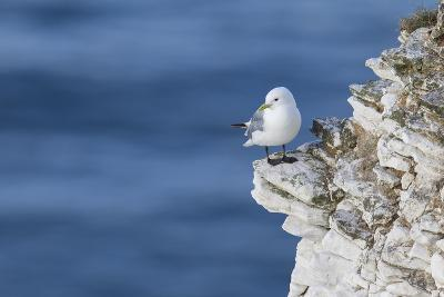 Kittiwake (Rissa Tridactyla) Looking Out to Sea Perched on a Narrow Rocky Ledge at Bempton Cliffs-Garry Ridsdale-Photographic Print