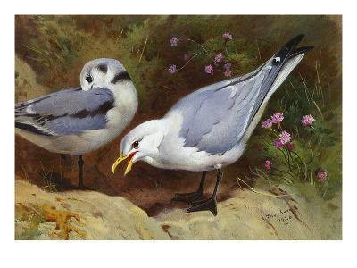 Kittywake Gulls-Archibald Thorburn-Giclee Print