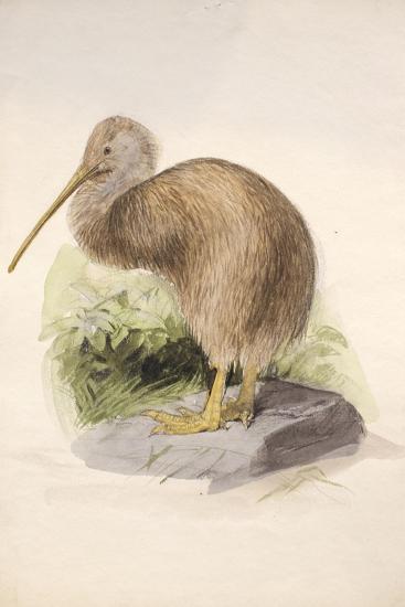 Kiwi, C.1850-Joseph Wolf-Giclee Print