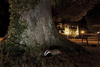 Badger (Meles Meles) Foraging by a Tree Near Buildings. Freiburg Im Breisgau, Germany, May