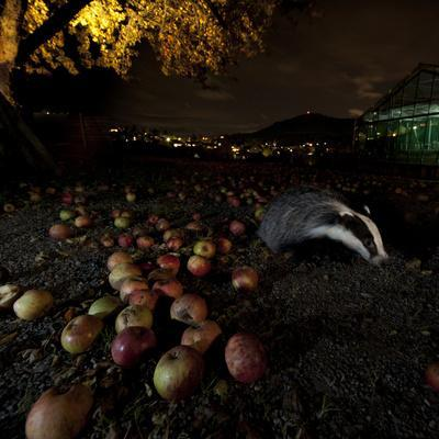 Badger (Meles Meles) under a Garden Apple Tree at Night. Freiburg Im Breisgau, Germany, November
