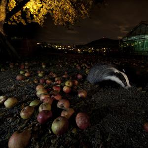 Badger (Meles Meles) under a Garden Apple Tree at Night. Freiburg Im Breisgau, Germany, November by Klaus Echle