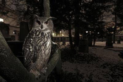 Portrait of Eagle Owl (Bubo Bubo) in Tree at Dusk. Freiburg Im Breisgau, Germany, January