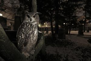 Portrait of Eagle Owl (Bubo Bubo) in Tree at Dusk. Freiburg Im Breisgau, Germany, January by Klaus Echle