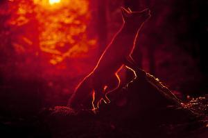 Red Fox (Vulpes Vulpes) Looking Up into Tree at Sunset, Backlit, Black Forest, Germany by Klaus Echle