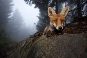 Red Fox (Vulpes Vulpes) Vixen on a Misty Day in Woodland, Black Forest, Germany by Klaus Echle