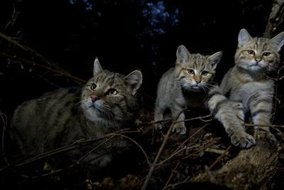 Wild Cat (Felis Silvestris) Mother and Kittens, Black Forest, Baden-Wurttemberg, Germany. October