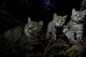 Wild Cat (Felis Silvestris) Mother and Kittens, Black Forest, Baden-Wurttemberg, Germany. October by Klaus Echle