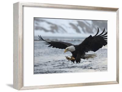 A Bald Eagle, Haliaeetus Leucocephalus, Fishing
