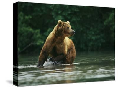 A Brown Bear Splashing in Water as it Hunts Salmon