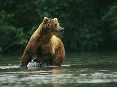 A Brown Bear Splashing in Water as it Hunts Salmon