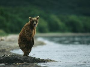 A Brown Bear Standing at Waters Edge with Tongue Sticking Out by Klaus Nigge