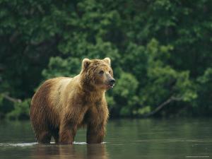 A Brown Bear Standing in Water by Klaus Nigge