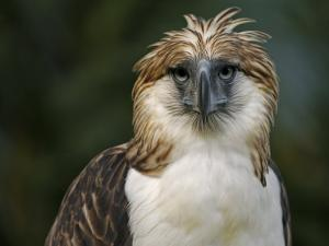 A captive male Philippine Eagle at the Philippine Eagle Center by Klaus Nigge