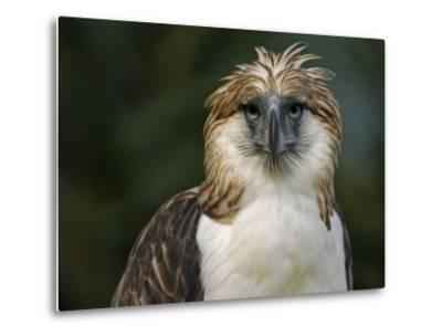 A captive male Philippine Eagle at the Philippine Eagle Center