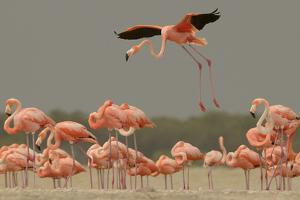 A Caribbean Flamingo Lands in the Breeding Colony by Klaus Nigge