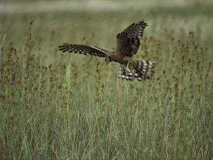 A Northern Harrier Hawk Clutches an Insect in its Talons by Klaus Nigge