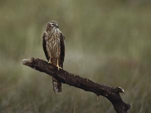 A Northern Harrier Hawk Perches on a Tree Branch by Klaus Nigge