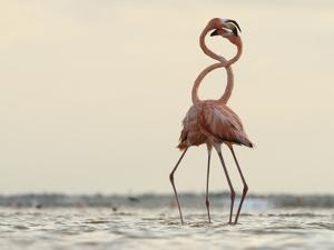 A Pair of Caribbean Flamingos Fight in a Lagoon by Klaus Nigge