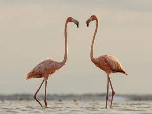 A Pair of Caribbean Flamingos Prepare to Fight in a Lagoon by Klaus Nigge