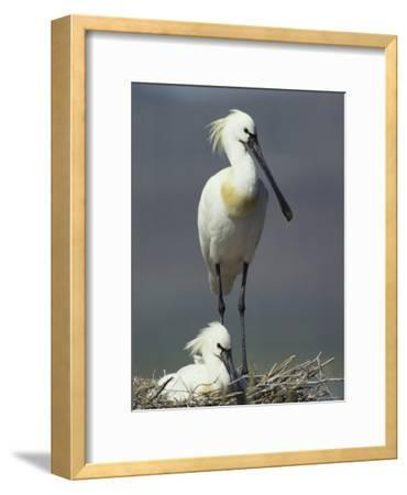 A Pair of White Spoonbill Birds in Their Nest