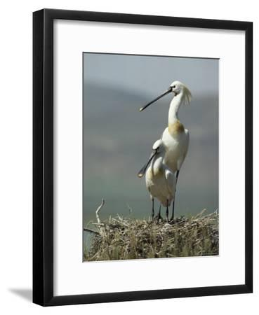 A Pair of White Spoonbill Birds Sit in Their Nest
