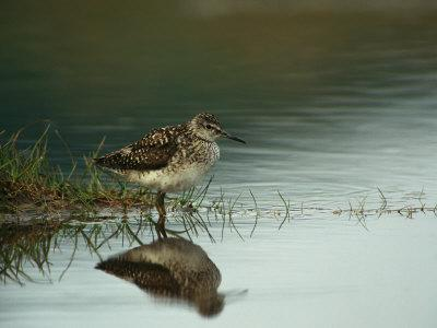 A Sandpiper and its Reflection in Calm Water