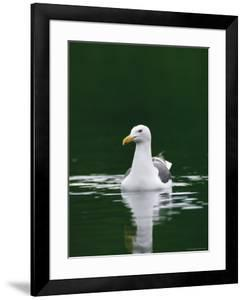 A Seagull Floating Serenely in Calm Water by Klaus Nigge