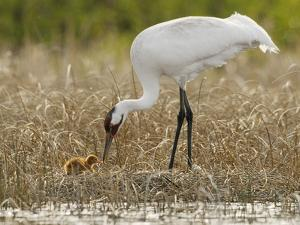 A Whooping Crane Female Offers An Insect to Its Hatchling by Klaus Nigge
