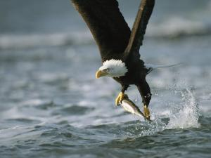 American Bald Eagle in Flight over Water with a Fish in its Talons by Klaus Nigge