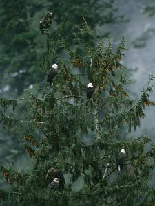 American Bald Eagles Perch in a Treetop by Klaus Nigge