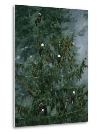 American Bald Eagles Perch in a Treetop